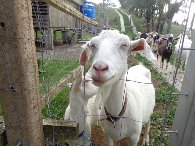 Happy goats in Cartago